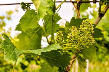 unripe grape bunches