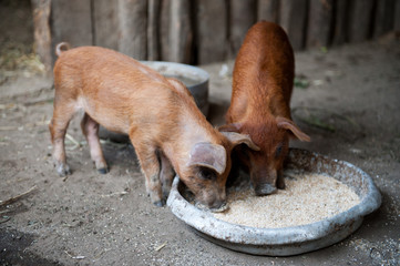 Two red pigs of Duroc breed eat mixed feed in barn. concept of sustainability, love of nature, respect for world and love for animals. Ecologic, biologic, farm
