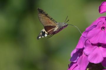 Hummingbird hawk-moth or Macroglossum stellatarum flying above and sucking nectar from Phlox flower