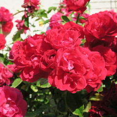 bang red climbing rose with many flowers in the summer