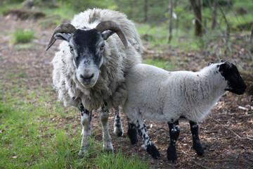 Acrylic Prints Sheep Sheep with lamb