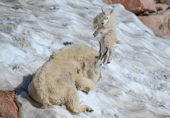 A Very Playful Baby Mountain Goat Lamb Frolicking in the Snow