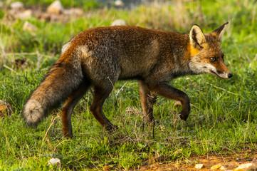 Red fox (Vulpes vulpes) in the field.