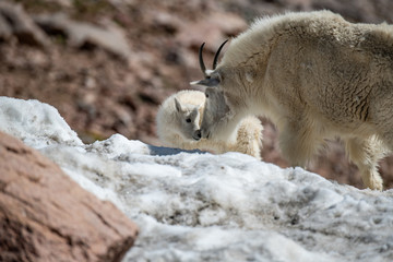A Beautiful Mountain Goat Nanny and Her Lamb Kid