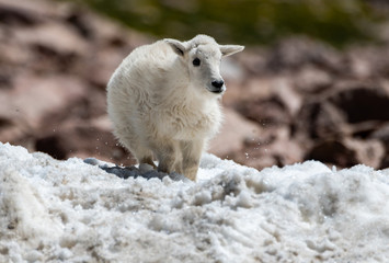 A Baby Mountain Goat Kid Playing in the Snow