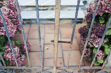 Rusty iron fence  and pink hydrangea plants