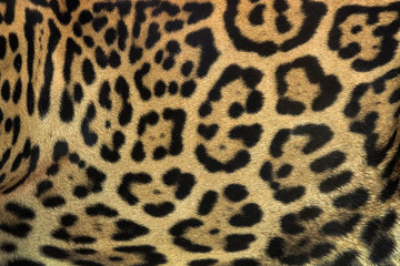 Colorful patterned skin of Jaguar's background.