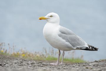 Herring Gull (Larus argentatus) on cliff, Ireland.