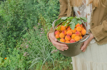 Fresh sweet apricots in a metal pan.