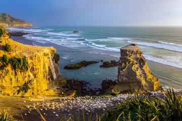 Nesting colony of seabirds - Australian gannets