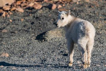 An Adorable Baby Mountain Goat Lamb Kid