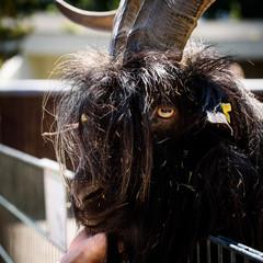 Grinning Goat Bokeh