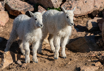 A Baby Mountain Goat Kid in The Rocky Mountains-Colorado