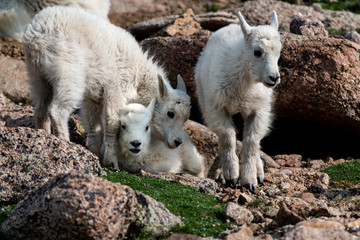 Baby Mountain Goat Kids - Colorado Rocky Mountains