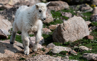 An Adorable Baby Mountain Goat Lamb on A Rocky Mountain Top