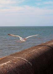 a herring gull flying away from the sea wall in blackpool in blackpool in bright summer summer sunlight