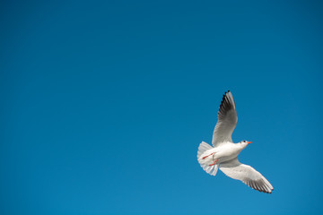 Single seagull flying in a sky