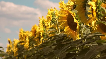 Wall Mural - Blooming sunflower crop field on sunny summer day