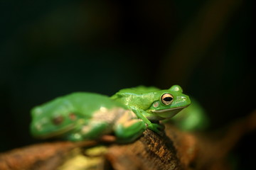 Grüner Frosch im Dschungel