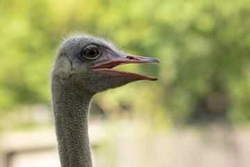 close up bill of ostrich head against green blur background