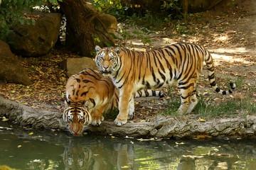 Der Sibirische Tiger