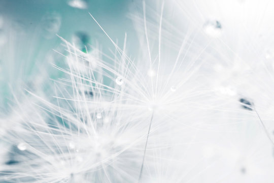dandelion seeds with drops of water on a blue background  close-up