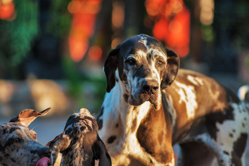 Great dane dog with its puppies