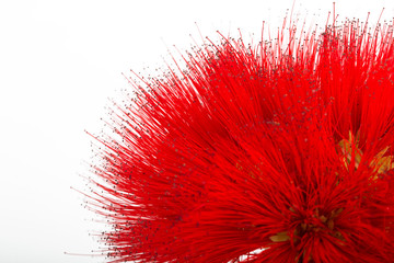 Calliandra Flower isolated on white background