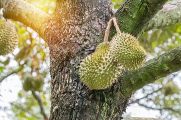 Fresh Durian (Durio zibethinus) king of tropical fruits hanging on brunch tree growth in organic garden