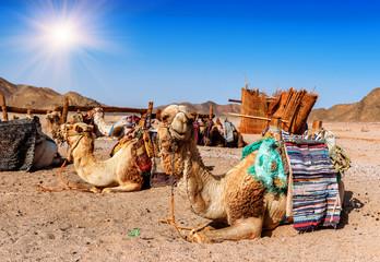camels rest in the desert