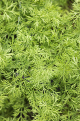 Close-up: fresh young greens of dill. The leaves and seeds of dill are used for flavoring and for medicinal purposes.