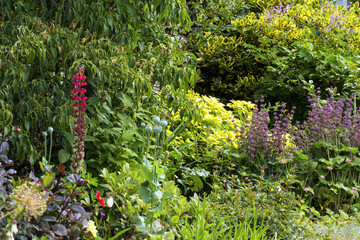 A single lupin flower in an English summer garden