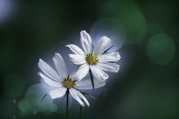 cosmea (cosmos bipinnatus) flowers