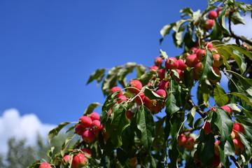 Zdjęcie przedstawiające piękne miniaturowe rajskie jabłka na tle niebieskiego nieba