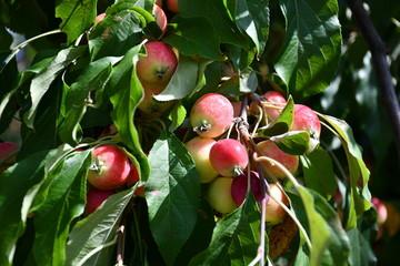 Zdjęcie przedstawiające piękne miniaturowe rajskie jabłka