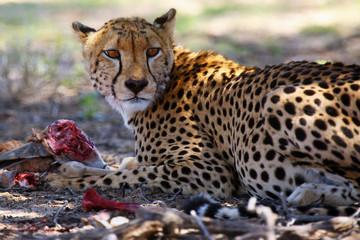 The cheetah (Acynonix jubatus) at prey. Cheetahs feed on the hunted springbock.