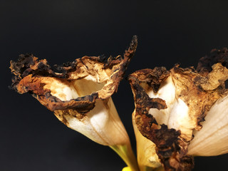 Dolichandrone serrulata flowers, dry floral, Isolate concept, Bignoniaceae