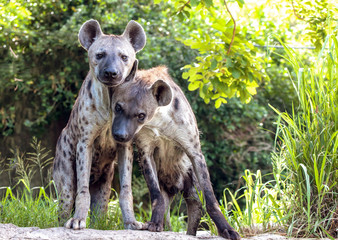 Portrait of a hyena family.