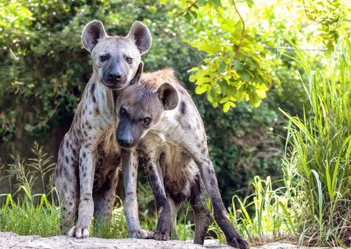 Portrait of a hyena family.