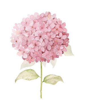 Watercolor hydrangea flower illustration