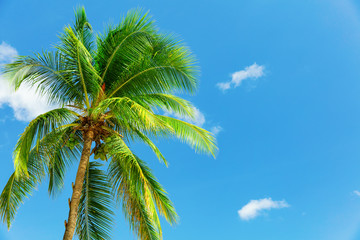 Coconut palm in the wind over blue sky in Barbados
