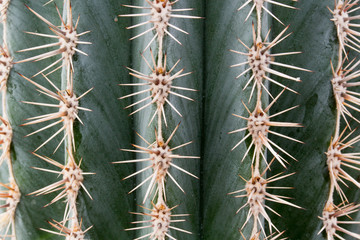 Close up photo of cactus ribs and spines. Vertical ridges are protected by groups of thorns going in all directions.