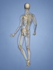 Ulna, Human Skeleton, 3D Model