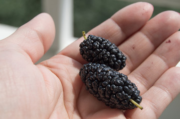 Mulberry fruit in the palm of a woman, close - up