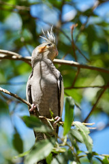 ein Nymphensittich in seinem natürlichen Lebensraum in Australien