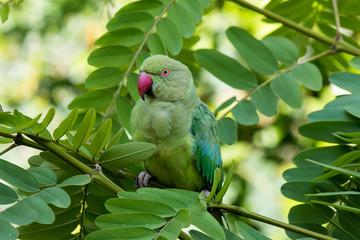 Green parakeet on green acacia looking into camera
