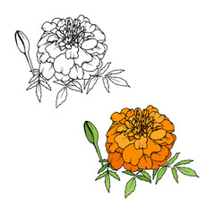 Tagetes or Marigold flower, Mexican Day of the dead