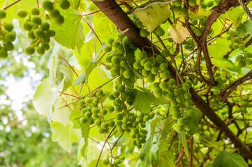 Dojrzewający zielony winogron