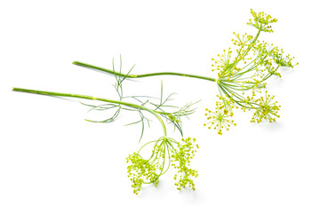 Flowers of the dill