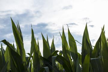 big green corn leaves